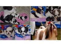 Lovely Shih Tzu puppies for sale
