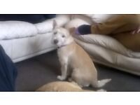 Westley x jack Russell, sadly needs rehoming no fault of her own , homes will be checked