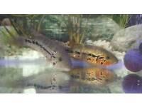 Red tiger MOTAGUENSE cichlids tropical fish