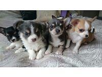 Chihuahua Puppies KC ONO