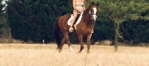 Stock horse gelding riding horse