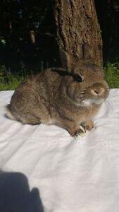 small dwarf rabbits (seniors) for sale