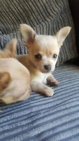 8 weeks old chihuahua pup