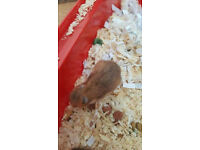 BABY HAMSTERS FOR SALE!