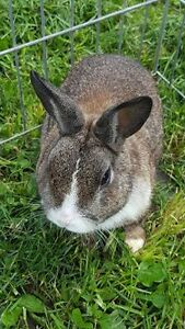 Netherland X Rabbits for Sale