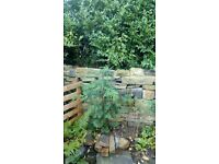 Conifer tree, planted last year 26 trees available