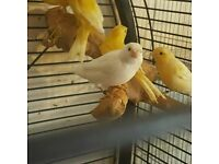 HIGH & STRONG QUALITY Yellow Canary Birds (Canaries) [£25 EACH] For Sale + Cages From £20