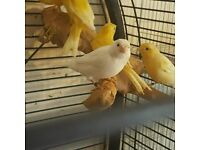 HIGH & STRONG QUALITY Canary Birds (Canaries) [£30 EACH] For Sale + Cages From £20