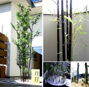 Inverno di duro nero gigante bamb anche al meglio come for Semi bambu gigante