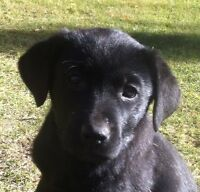 Two Black Lab puppies for sale