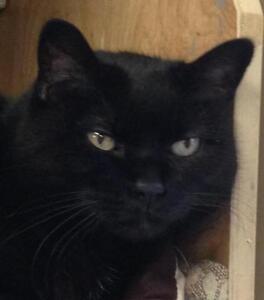 """Senior Female Cat - Domestic Short Hair-black: """"Hanna"""""""