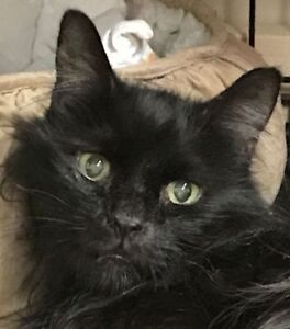 "Adult Male Cat - Domestic Medium Hair: ""Halifax"""