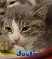 "Baby Male Cat - Domestic Short Hair: ""Justin - Shy guy!"""
