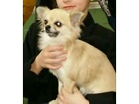 Kc registered girl chihuahua