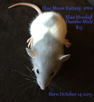 Blue and Dumbo baby rats ready to go!