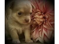 KC REGISTERED LILAC AND MINK CHIHUAHUA