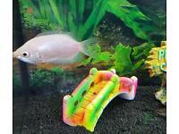 Stunning tropical gourami kissing fish