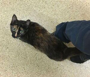 """""""Saucy"""" - Sweet little tortie available for adoption"""