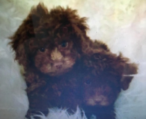 6 Toy Poodle Puppies