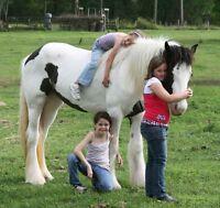Gratuit cheval gitan vanner pour adoption.