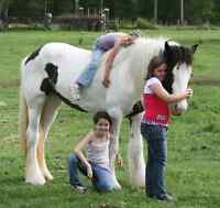 White and black Gypsy Vanner horse available.