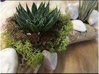 Driftwood Log Planter with Air Plant & Aloe Succulent (Indoor)