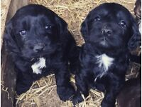 Gorgeous Sproodle Pups