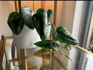 Scindapsus pictus satin ivy indoor plant houseplant
