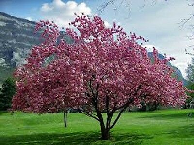 Prunus serrulata JAPANESE FLOWERING CHERRY❋35