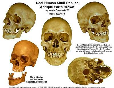 Authentic Human Skull-Life Size Replica Aged Relic -Earth Brown- #3093-1010 USA