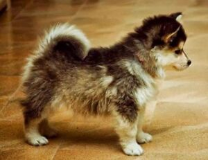IN SEARCH OF POMSKY PUPPY OR MORKIE