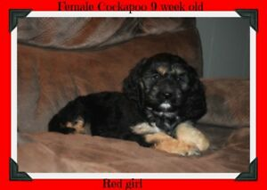 Cockapoo puppies ready to go !! read all info