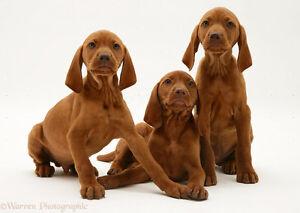 Purebred Registered Vizsla Pups