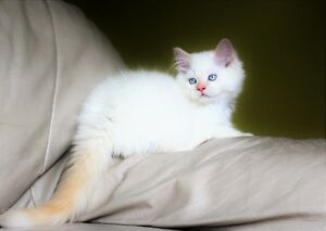 Ragdoll kittens are available for adoption.