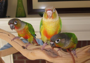❤★❤ Hand Tamed Conures with Cage❤★❤