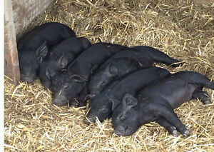 Berkshire Cross piglets for sale