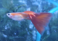 Red Moscow Delta Guppies Breeding Trio (1 Male, 2 Females)