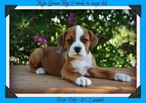 Boxer mix puppies !! 7 pup avalaible