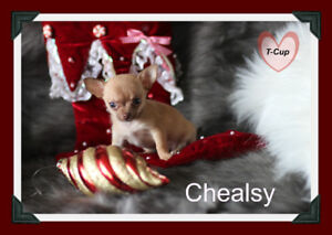 Chihuahua T-Cup❤❤ femelle rousse ,red nose ❤❤Top Qualité★★★★★