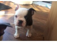 Beautiful Blue Pied French Bulldog Puppies