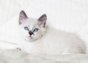 FRIENDLY RAGDOLL MALE KITTEN