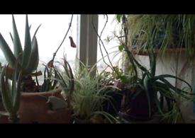 Organic aloe vera, spider plants
