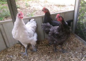 3 x Pure Bred Australorp Chickens/young roosters ...
