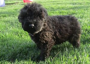 Bouvier Pups ready to go this week!