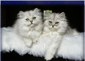 Exotic Chinchilla Persian Kittens