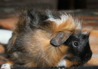 4 Month old male guinea pigs