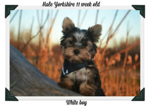 Yorkshire puppies !! 2 male avalaible