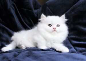 Beautiful Persian kittens are available for adoption,.