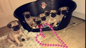 Full KC Registered Pug Pups for sale