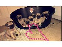 Full KC Registered Pug Pups for sale